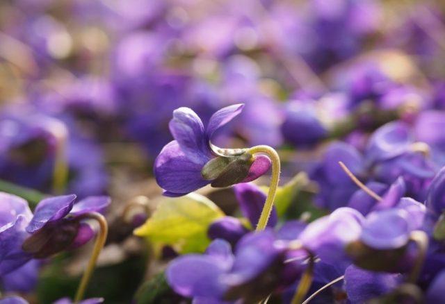 Cvet ljubičice