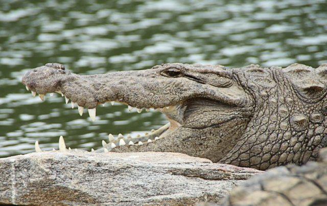 Estaurski krokodil